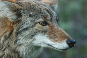 Be as watchful as the coyote, and good things will come...